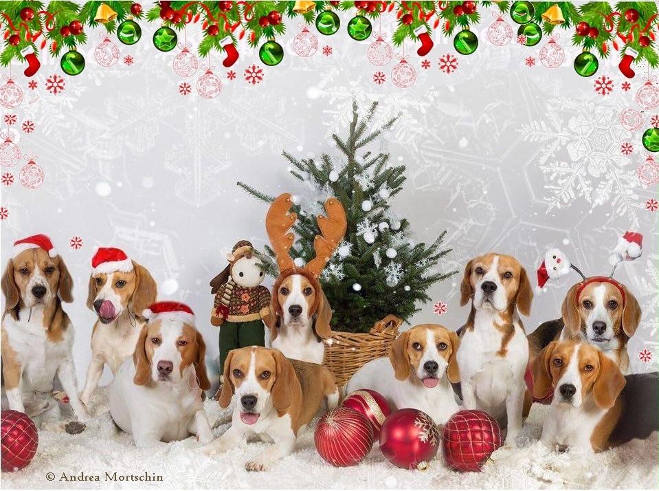 Foto-Beagle-Weihnachten