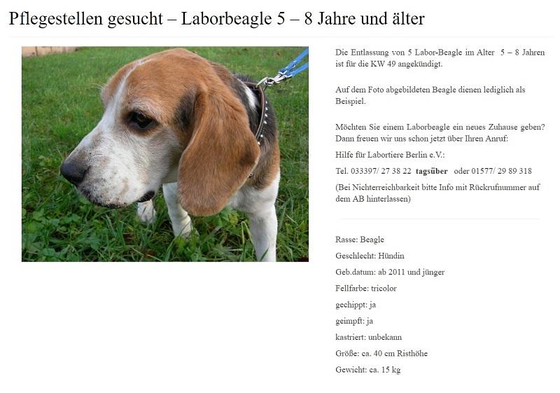 ältere Beagle