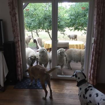 Schafe im Glück