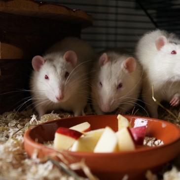 Meine drei Rattenjungs