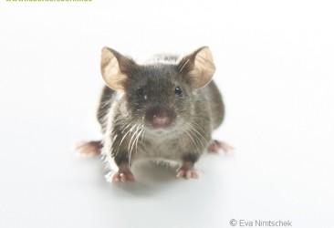 schwarze Mäuse