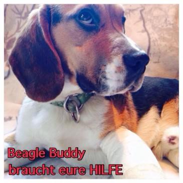 Pflegestellen-Herzensbrecher Beagle Buddy in Not