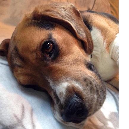 beagle in not ennepetal