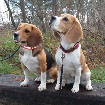 Marshall-Beagle Wallace (ehm. Happy)