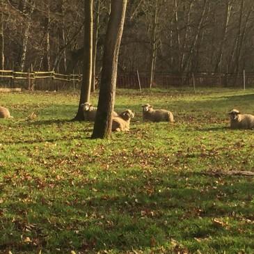 Alles Gute und viel Kraft für 2016 wünschen die Schafe Molly und Familie