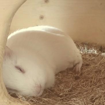 Traumschweinchen Greta