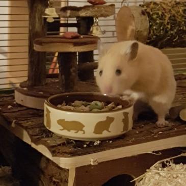 Hamster Quan
