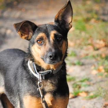 Celie – Schäferhund in Kleinformart