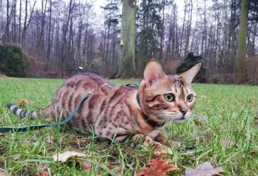 Bengal-Katze  Ronja