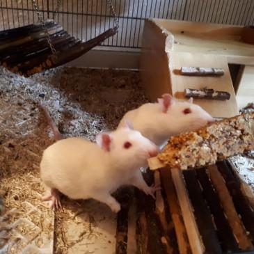 Ratten im Paradies