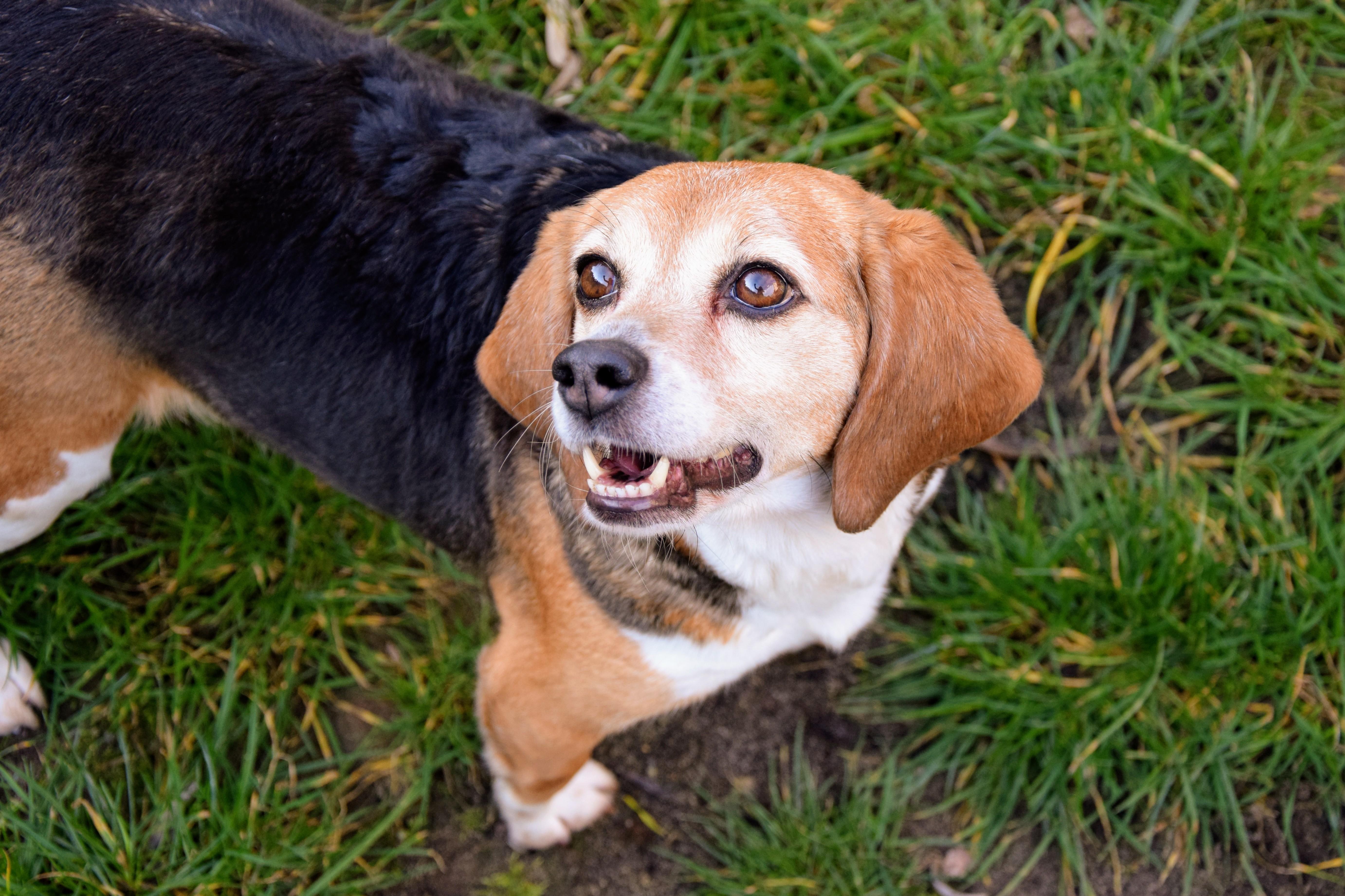 Labor Beagle