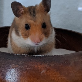 Laborhamster Lord Hubert the Greatest